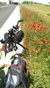 Wild Poppies on the streets of Reliegos.